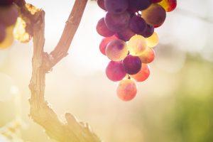 Oenotourisme chez un partenaire fournisseur de tonneaux et futs de vin à recycler