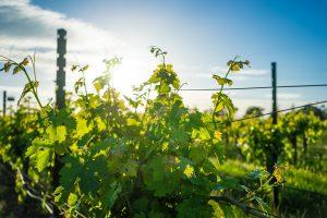 recyclage de tonneau provenant de ce domaine viticole pour la fabrication de nos écrin de tire-bouchon en chene